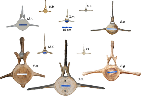 Representative vertebrae from several cetacean species, shown at the same scale and viewed from the cranial face.