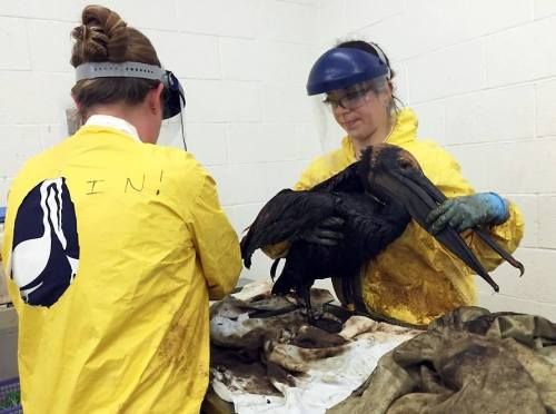 oiled-pelican-Santa-Barbara