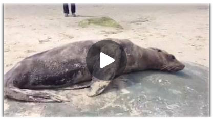 Sea-lion-exhausted