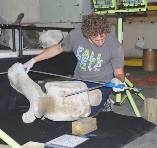 Whale scientist Logan Arthur takes the measurements of a sperm whale vertebrae in the Smithsonian's collection. (Photo by Ann Pabst)