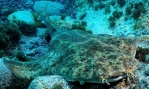 Angel shark, Squatina squatina, once abundant has drastically declined and has been declared locally extinct in the North Sea and also from large areas of the northern Mediterranean Sea. Photograph: Tony Gilbert/IUCN