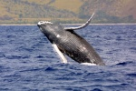 Friday, June 19 is the deadline for public comment on a Draft Environmental Impact Statement that seeks to expand the size and focus of the Hawaiian Islands Humpback Whale National Marine Sanctuary. (Credit : NOAA)
