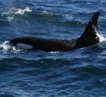 Killer whales off the Moray coast