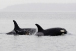 The Canadian Navy halted a live-fire exercise Wednesday after hearing from whale-watching tour operators that J-pod — a family of orcas that includes three calves less than a year old — were moving through the Georgia Strait in the path of the exercise.