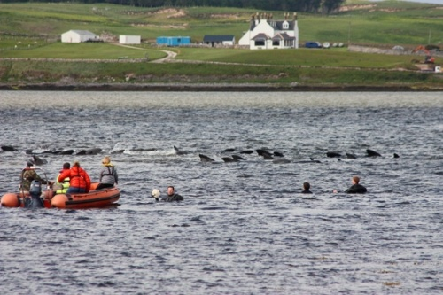Rescuers try to guide stranded pilot whales back to sea in the Kyle of Durness, July 2011. They saved 20 of the 39 stranded whales. Photograph: Donald Mitchell/Highland Council