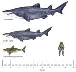 New fossils unearthed in TExas suggests that sharks during the Early Cretaceous were much larger than previously thought. The top image shows the estimated body size of a shark fossil found in a 100-million-year-old deposit in Kansas. The middle shark's size. The bottom shark is another known shark species that trawled the ancient oceans. Credit : Frederickson et al.