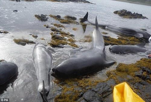 Skye-pilot-whale-beaching3