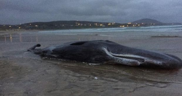 Sperm whale in ireland