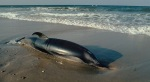 6-foot-dolphin-stranded-for-14-hours