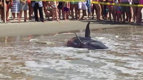 Image of the beached calf whale. Source: Patti Hulbert
