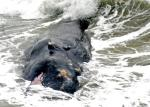 The sperm whale that was washed ashore on the beach on August 03, 2010.— Photo: T.Singaravelou