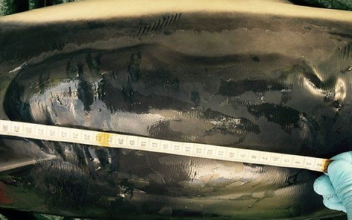 The blister on the dolphin's dorsal fin was estimated to be the size of a rugby ball (BDMLR)