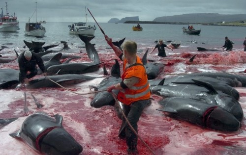 denmarks-faroe-islands-observes-grindadrap-tradition-mass-whale-killing-environment-day