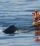A Whale Disentanglement Network volunteers, using the specialized whale disentanglement equipment, and supported by the two NSRI sea rescue boats, successfully disentangled a young adult humpback whale. (Andrew Ingram, NSRI)