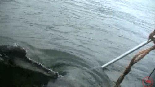 entangled-humpback-whale3