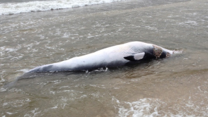 A dead minke whale washed ashore at Robert Moses State Park on July 8, 2015. (Credit: Handout)