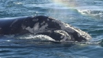 The North Atlantic right whale population has been inching up slowly, rising to about 520 from a mere 300 in the late 1990s. (Courtesy: New England Aquarium)