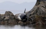The tale of an emotional rescue of a stranded orca whale on the northern coast of B.C. is making a splash on social media. A transient orca became stuck on some rocks on Wednesday afternoon in Hartley Bay and was rescued by volunteers and high tide after six hours. Photograph by:@whalepoint , Twitter