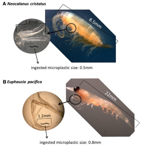 Diagram of two zooplankton species and ingested particles.