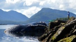 Four dead humpback whales have been found off the B.C. coast over the last week, including this one found near Klemtu.