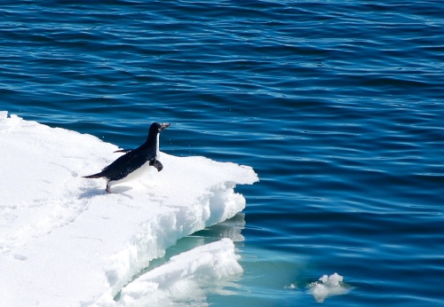 Adélie penguin (Pygoscelis adeliae) preparing to dive into the water in the Ross Sea, Antarctica. Credit : Hannah Joy-Warren