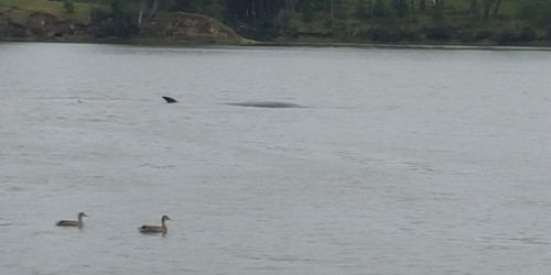 The whale was sighted close to the Riverhead Tavern on the upper Waitemata Harbour.