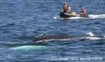 Responders frmo the Center for Costal Studies work to free an entagnled humpback whale. (Courtesy CCS, NOAA permit 18786)