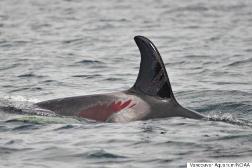 injured-orca-BC-Canada2