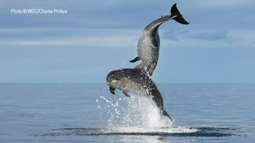 Tursiops-leaping