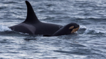 Baby Orca number six is seen swimming off the San Juan Islands on Saturday with a whale dubbed Princess Angeline, herself a grandmother at 38-years-old. ( Heather MacIntyre/Pacific Whale Watch Association (PWWA))