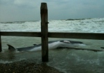 The dead whale, believed to be a minke, washed up on Overstrand beach. Picture : JANET ELLIS