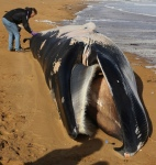 Experts believe the 36ft carcass to be that of a minke whale. Photograph: Gareth Fuller/PA
