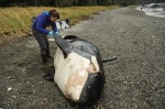 NOAA Fisheries marine mammal expert Sadie Wright examines the carcass of a killer whale discovered near Petersburg, Alaska. NOAA Fisheries/John Moran Taken under permit.