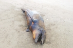 A picture released by the Federal Prosecutor for Environmental Protection (PROFEPA) shows a dead dolphin near Altamura Island on October 15, 2015
