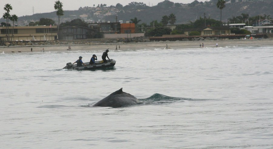 Humpback whale freed from lobster trap line near san diego for Lobster fishing san diego