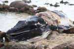 The beach at Moses Rock remains closed as a juvenile humpback whale decomposes. (ABC News : Anthony Pancia)