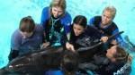 Mote Marine Laboratory staff helps stranded dolphin Feeny. Mote Marine Laboratory photo