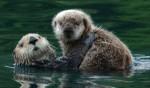 Sea Otters. (U.S. Fish & Wildlife photo)