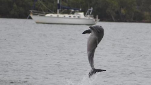 The dolphin loved to play up for the camera. Here she was snapped by electrician and amateur photographer Dennis Grilk from Gosford Sailing Club in April. Picture : Dennis Grilk
