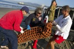 Coast guard, lifeguard, and rehabilitation center staff work together to carry a pregnant sea lion that was poisoned by domoic acid further south in California, in Santa Monica, in 2011. Domoic acid poisoning is a recurring problem that seems to be becoming more common. Photo by Jonathan Alcorn/ZUMA Press/Corbis
