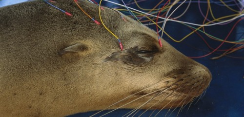 A sea lion at the Marine Mammal Center in Sausalito is tested for the effects of domoic acid poisoning using an electroencephalogram (EEG). In 1998, center staff were the first to identify domoic acid poisoning in marine mammals. Photo by Suzi Eszterhas/Minden Pictures/Corbis