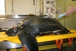 COURTESY OF THE NEW ENGLAND AQUARIUM A Leatherback sea turtle that washed up dead on Sandy Neck Beach in Barnstable on Sunday suffered from a boat strike, ingesting plastic and an entanglement.