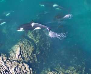 A group of mammal-eating Bigg's killer whales swim very close to shore off the coast of Northern Vancouver Island. Members of the T90s. T59s, T124A1 groups all came together during this encounter. (Vancouver Aquarium & NOAA)