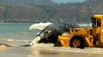 It is the second whale that has beached along the Cape coast in three days.