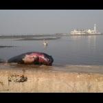 finless-porpoise-haji-ali-kunal-chonkar-iamin