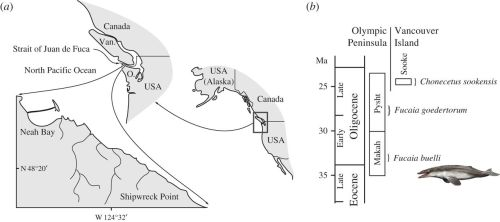 Type locality and horizon of Fucaia buelli. (a) Locality map, (b) age and provenance of Fucaia and Chonecetus. Details as to the exact location and horizon are available directly from UWBM. O., Olympic Peninsula; Van., Vancouver Island.