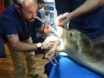 Dr. Greg Frankfurter performs an intubation on patient Cappy. Courtesy The Marine Mammal Center.