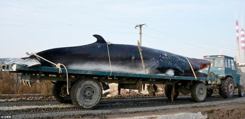 The whale weighed 3.9 tonnes and was 8.5 metres in length.