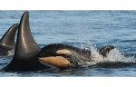 A new baby killer whale has been born in the J Pod group of resident whales believed to be headed for the Strait of Georgia, bringing the number of new births since last December to eight. The U.S.-based Center for Whale Research said the calf — designated J54 — is the offspring of mother J28 and a sibling to a female calf born in 2009. J28 and J54 are pictured here. Photograph by : Dave Ellifrit, Center for Whale Research