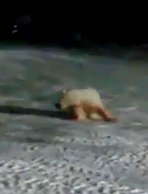 The bear was familiar with the campsite and grew to trust people